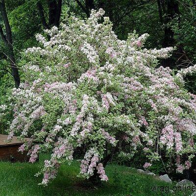 Tarka levelű Rózsalonc, Weigela 2 literes kont. 30-40cm