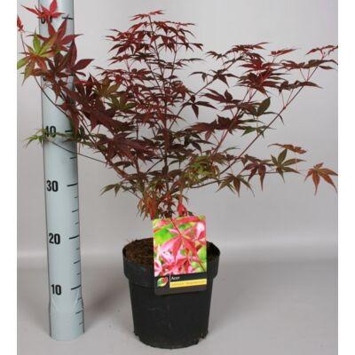 Japán Juhar vörös 5 lit.- 50-60cm