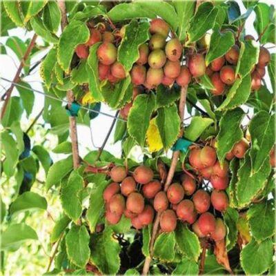 Kivi termős 'Ananasnaya' 130 cm!