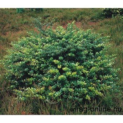Ékszerborbolya, Berberis 25-35 cm bokor