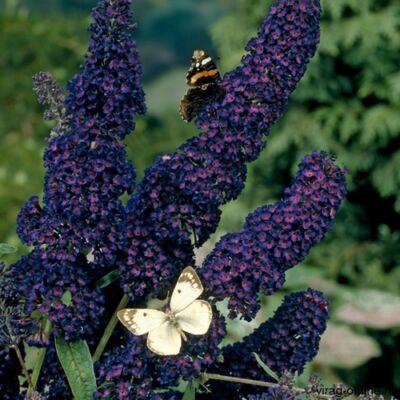 Nyári Orgona 2 literes kont. lila