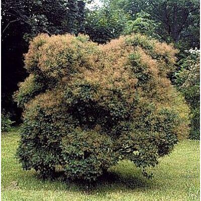 Cserszömörce 40-60cm bokor zöld