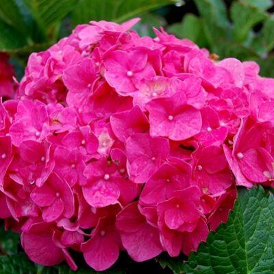 Hortenzia 'Early Pink' 3 literes cserépben