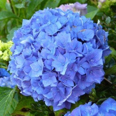 Hortenzia 'Early Blue' 4 literes cserépben