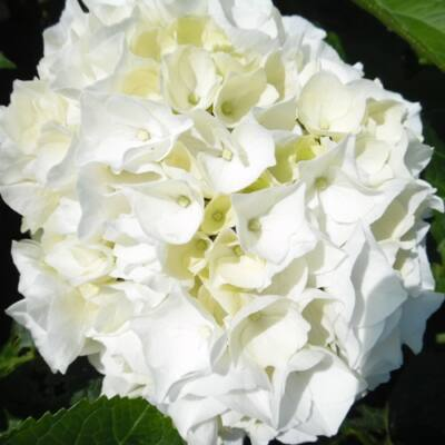Hortenzia  'Wudu' 4 literes cserépben