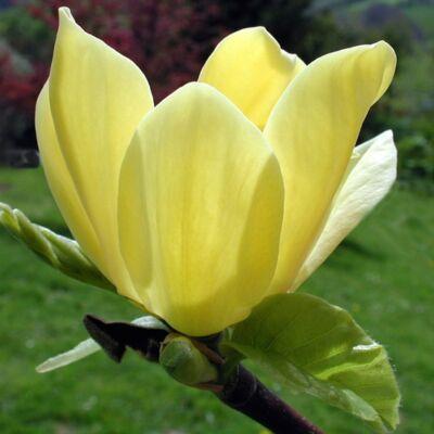 Liliomfa sárga oltvány 100 cm