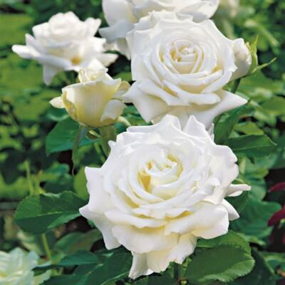 Rozsa Nagyvirágú fehér, teahibrid 2 l 30-40 cm