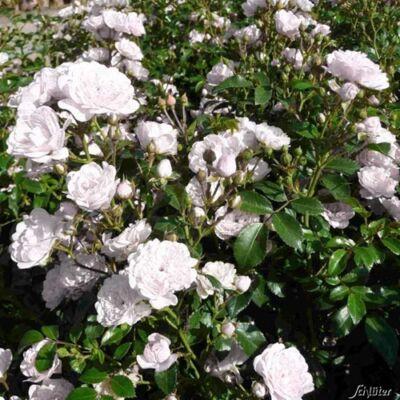 Rózsa talajtakaró 1,5 literes, fehér