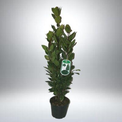 Babér - Fűszerbabér 17 cm-s cserépben