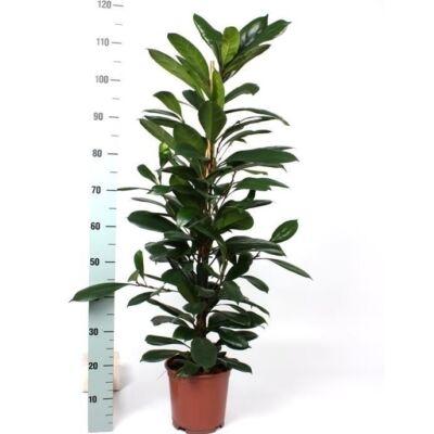 Serlegkocsányú fikusz 100-120 cm