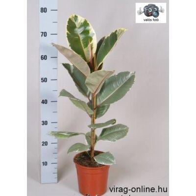 Tarka szobafikusz 70cm 17cm-s cserépben, Ficus Belga