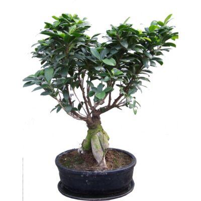 Ficus Ginseng BONSAI 30cm