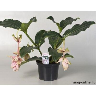 Medinilla magnifica 17 cm-s cserépben