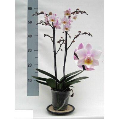Lepke Orchidea 60cm 2 virágszálas Fragrance