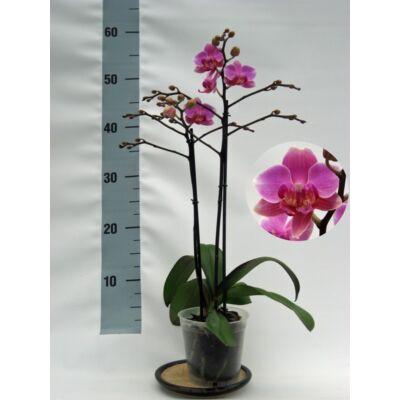 Lepke Orchidea 60cm 2 virágszálas Hamburg