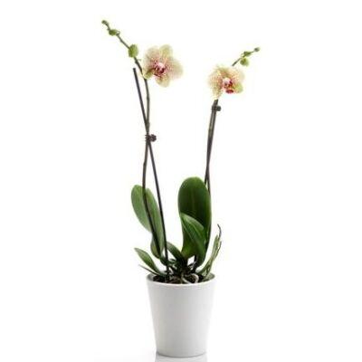 Lepke Orchidea 60cm 2 virágszálas Pebble Beach