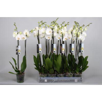 Lepke Orchidea 60cm 2 virágszálas white wonder