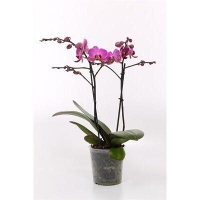 Lepke Orchidea 60cm 2 virágszálas Floricone Perceval