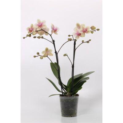 Lepke Orchidea 60cm 2 virágszálas Anthura Pompei