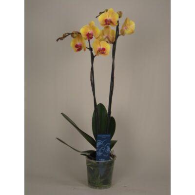 Lepke Orchidea 60cm 2 virágszálas Sin-Yaun Golden Beauty