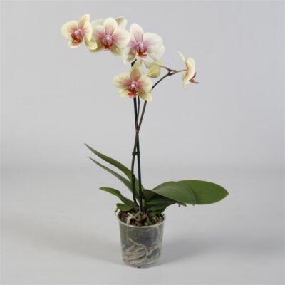 Lepke Orchidea 60cm 1 virágszálas, Anthura pompei