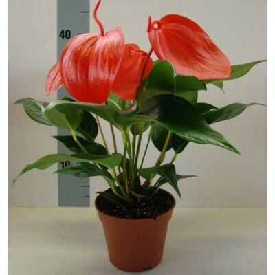 Flamingóvirág, anthurium scherzerianum 12cm-s cserépben
