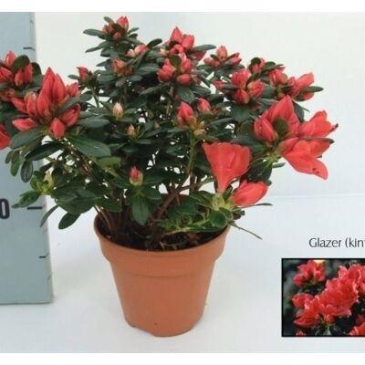Azálea 25cm, 13 cm-s cserépben piros