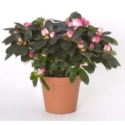 Azálea 25cm, 13cm-s cserépben  rózsaszín