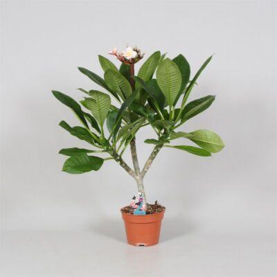 Plumeria, Templomfa 40 cm