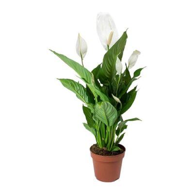 Vitorlavirág 14cm-s cserépben 50-70 cm