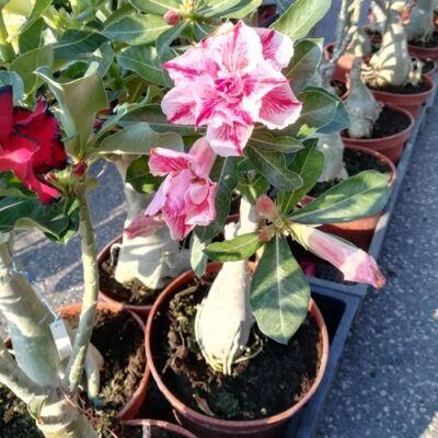 Sivatagi Rózsa telt virágú 15 cm-es cserépben