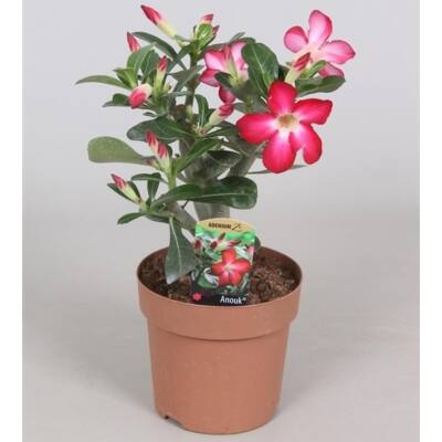 Sivatagi Rózsa 14 cm-es cserépben 25-30 cm
