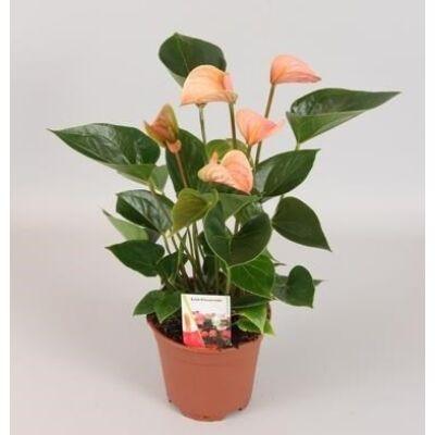 Flamingó virág 14 cm-s cserépben 40-50 cm fehér