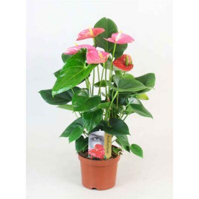 Flamingó virág 14 cm-s cserépben 40-50 cm rózsaszín