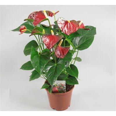 Flamingó virág 14 cm-s cserépben 40-50 cm piros