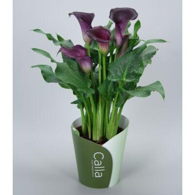 Kála 30-40 cm, lila