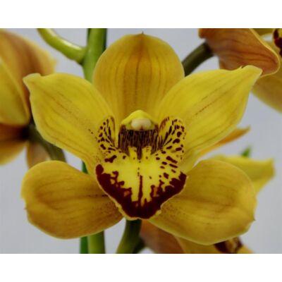 Csónak orchidea 70-100 cm, sárga