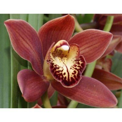 Csónak orchidea 70 cm, téglavörös