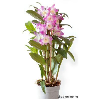 Dendrobium nobile lila 40-50 cm, 12cm-s cserépben