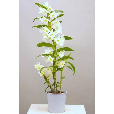 Dendrobium nobile 50-60 cm, 12cm-s cserépben