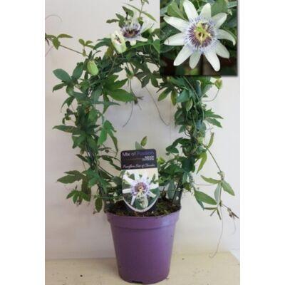 Golgotavirág, fehér Passiflora