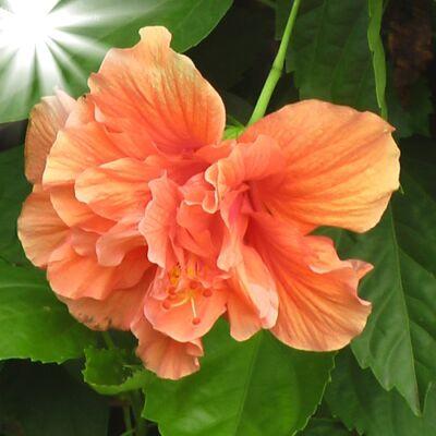 Hibiscus 12 cm-s cserépben, telt virágú