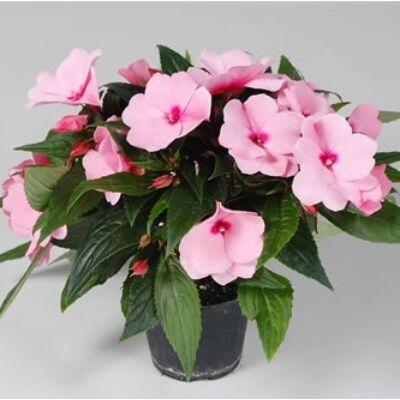 Pistike 25cm, 11cm-s cserépben rózsaszín