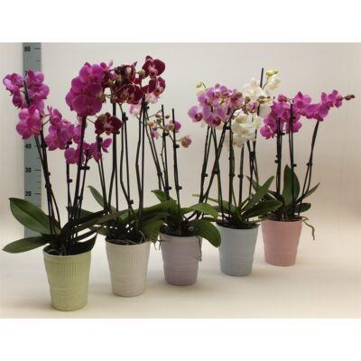 Lepke Orchidea 60cm 1 virágszálas Anthura Moscow