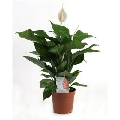 Vitorlavirág 17cm-s cserépben 70 cm