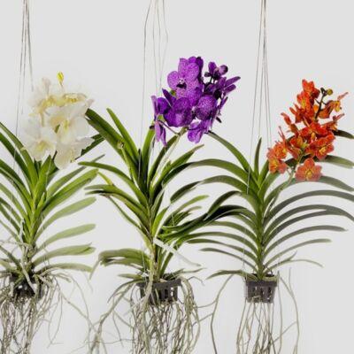Pártáskosbor vázában, Vanda 50-70 cm
