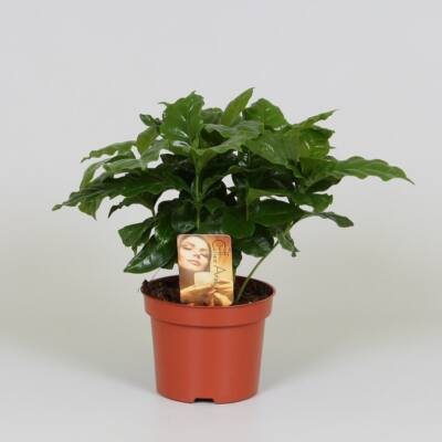 Kávécserje, Coffea 12 cm-s cserépben