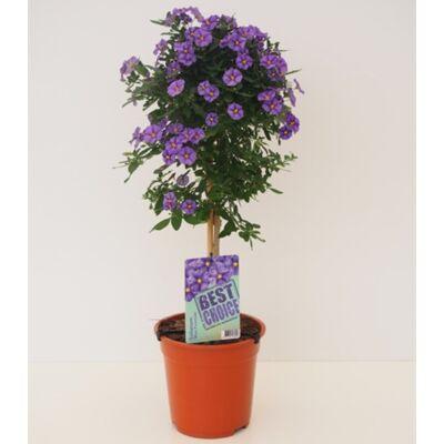 Enciánfa, Solanum rantonettii fa, 60 cm