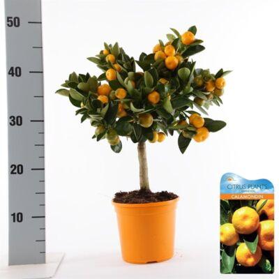 panamai narancs fa 50-60 cm