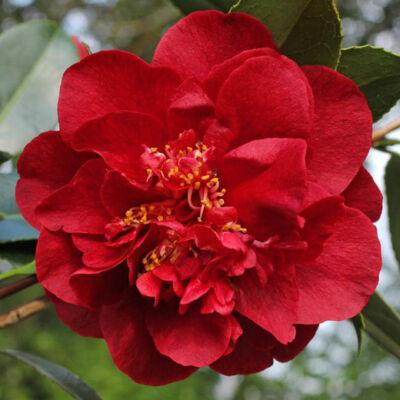 Japán Kamélia, Camelia 16 cm-s cserépben piros